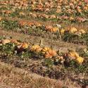 Florihana Pumpkin Seed Oi BIO (100ml)