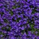 Florihana Violet Absolute (2g)