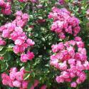Florihana Rose Absolute (2g)
