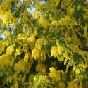 Florihana Mimosa Absolute (2g)