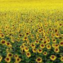 Florihana Sunflower Oil BIO (100ml)