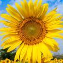 Florihana Sunflower Oil BIO (200ml)