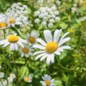 Florihana Daisy Macerated Oil (50ml)