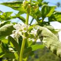 Florihana Βασιλικός Λιναλοόλη Αιθέριο Έλαιο BIO (5g)